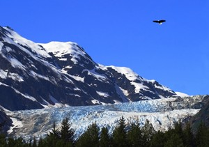 Bald Eagle Flying in Alaska Above Glacier