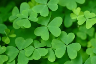Clovers for Saint Patrick's Day