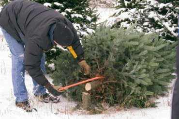 Cutting an Down an Evergreen Tree for Christmas