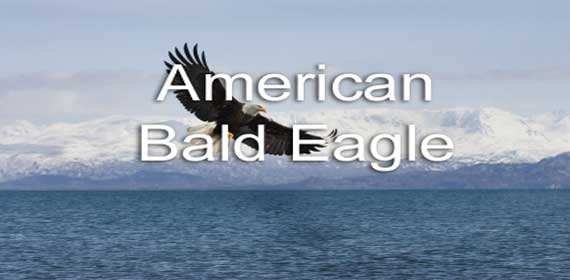American Bald Eagle in Alaska