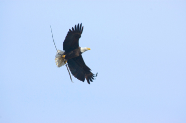 Bald Eagle Flying with a Twig
