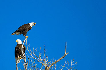 Bald Eagle Couple in Tree