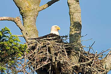 American Bald Eagle Nest