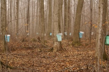 Buckets Hanging from Maple Trees