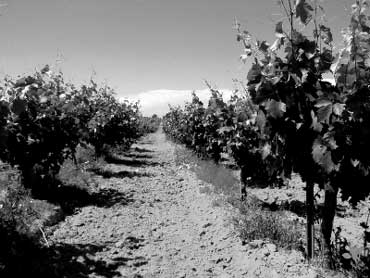 Grape Fields in California