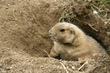 Groundhogs Live In Tunnels