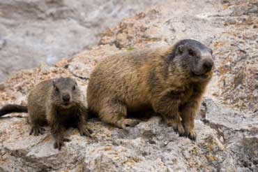 Groundhog Kit with Its Mother
