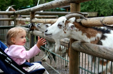 Petting a Goat at the Zoo