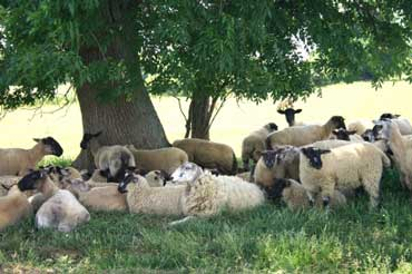 Sheep Resting in the Shade of a Tree