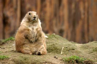 Groundhog Sitting Upright