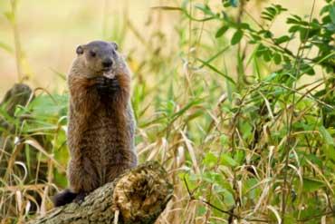 Groundhog Standing on a Log