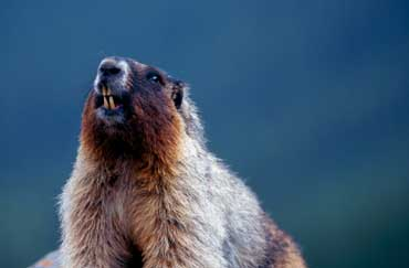 Whistling Groundhog