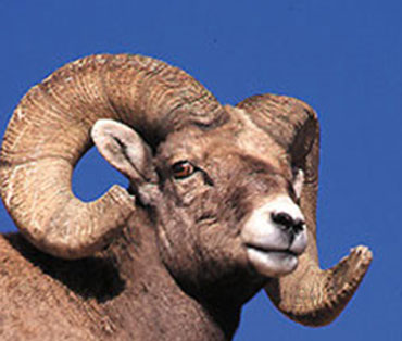 2015 is the Year of the Ram or Goat