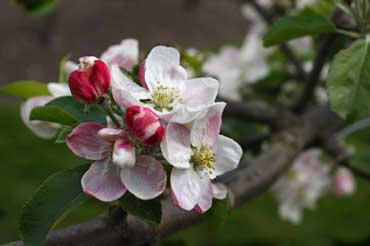 Apple Blossom - State Flower of Michigan