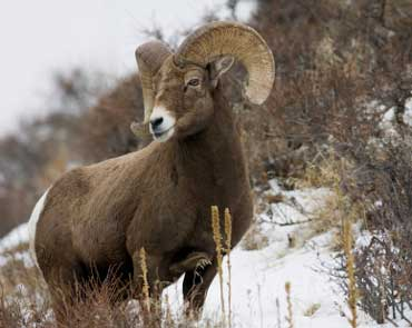 Big Horn Sheep - The State Animal of Colorado