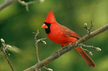 Cardinal - State Bird of Illinois