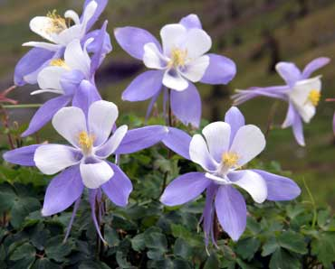 Rocky Mountain Columbines - State Flower of Colorado