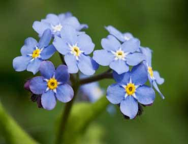Forget Me Not - State Flower of Alaska