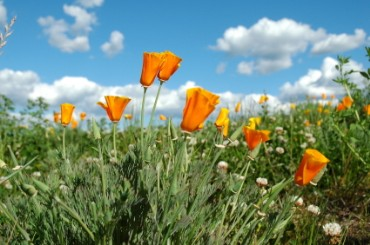 Golden Poppies, California's State Flowers