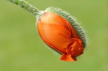 California state flower golden poppy california state flower mightylinksfo