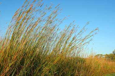 Bluegrass - State Prairie Grass of Illinois