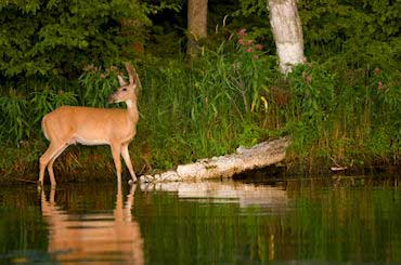 White-tailed Deer - State Animal of Illinois