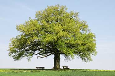 Oak Tree - State Tree of Iowa