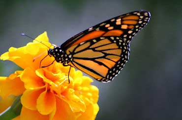 Monarch Butterfly - State Insect of Illinois