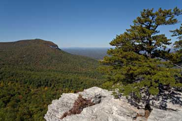 Pine Tree - State Tree of North Carolina