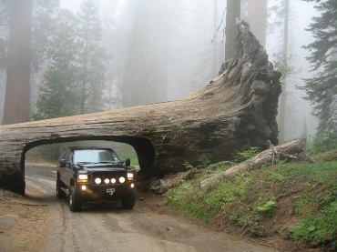 SUV Driving through a Sequoia Tree