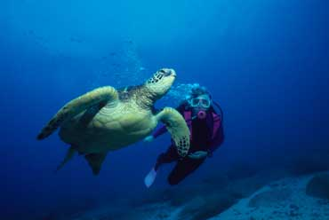 Diver and Large Turtles