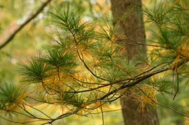 White Pine - State Tree of Michigan