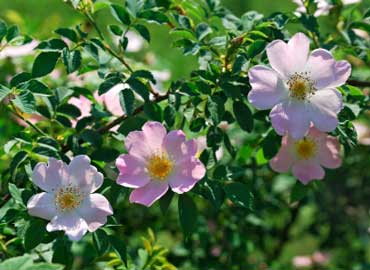 Wild Rose - State Flower of Iowa