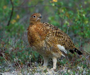 Willow Ptarmigan - State Bird of Alaska