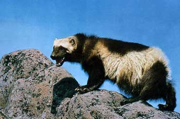 Wolverine - State Animal of Michigan
