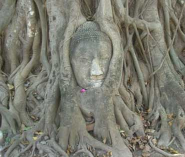 Head of Buddha in a Tree Trunk